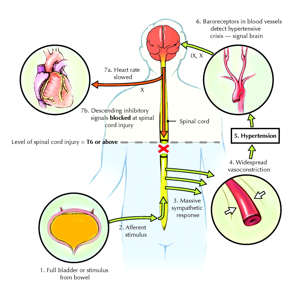Nervous System Large as well Learn Slide in addition Sympathetic Innervation Of The Stomach Parasympathetic Innervation The Autonomic Nervous System additionally Anatomy Of Human Nervous System X in addition Jcdd G. on sympathetic nervous system diagram
