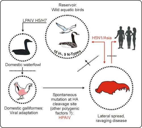 overview of the threat of the avian flu virus Avian influenza a h5n1 virus: a continuous threat to humans  we also review  the relative contribution of the poor response to antiviral.