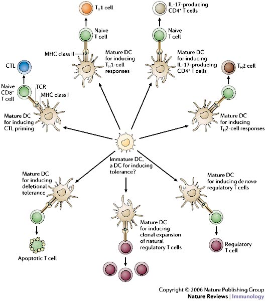 immature dendritic cells - photo #9