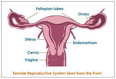 Female reproductive system causes symptoms treatment female female reproductive system ccuart Images