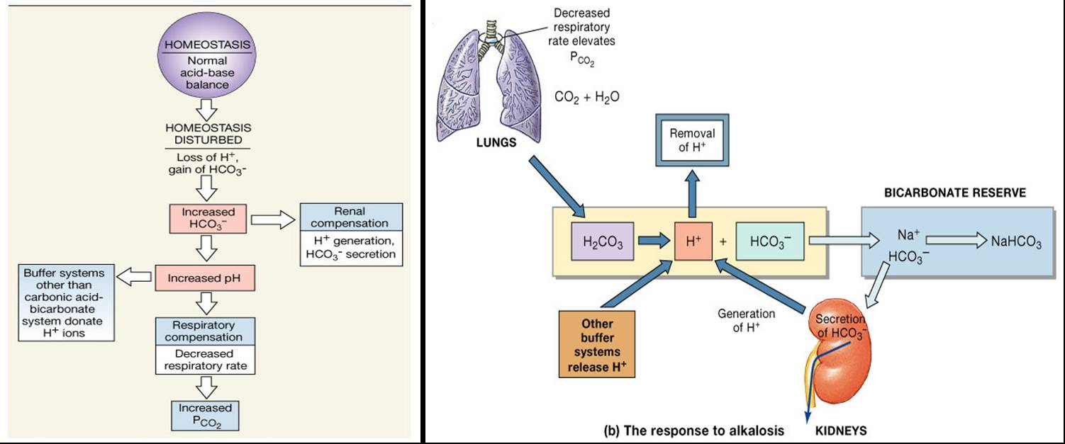 relationship between blood lungs and buffers
