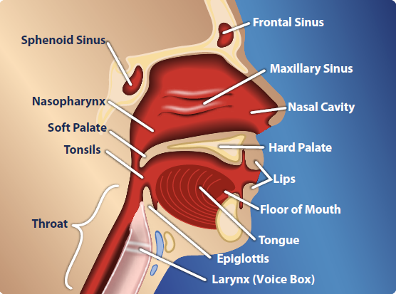 Anatomy of the throat glands