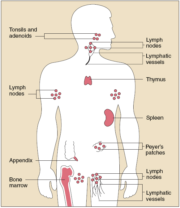 Immune System Causes Symptoms Treatment Immune System