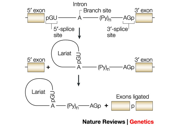 introns Introns are a common eukaryotic event several features of interrupted genes are: the sequence order is the same as in the mrna the structure of an interrupted gene is identical in all tissues introns of nuclear genes have termination codons in all three reading frames exon - rna sequences in the.