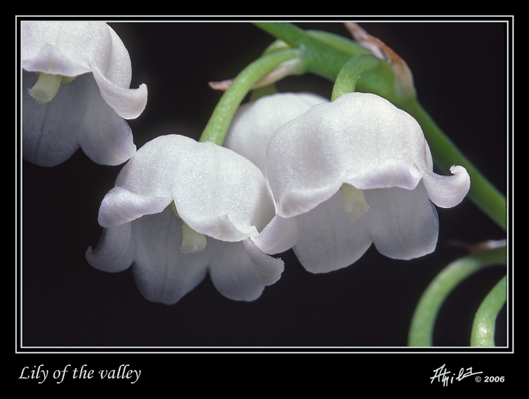 lily of the valley causes symptoms treatment lily of the valley. Black Bedroom Furniture Sets. Home Design Ideas