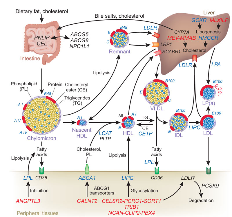 relationship of cholesterol and lipoproteins transport