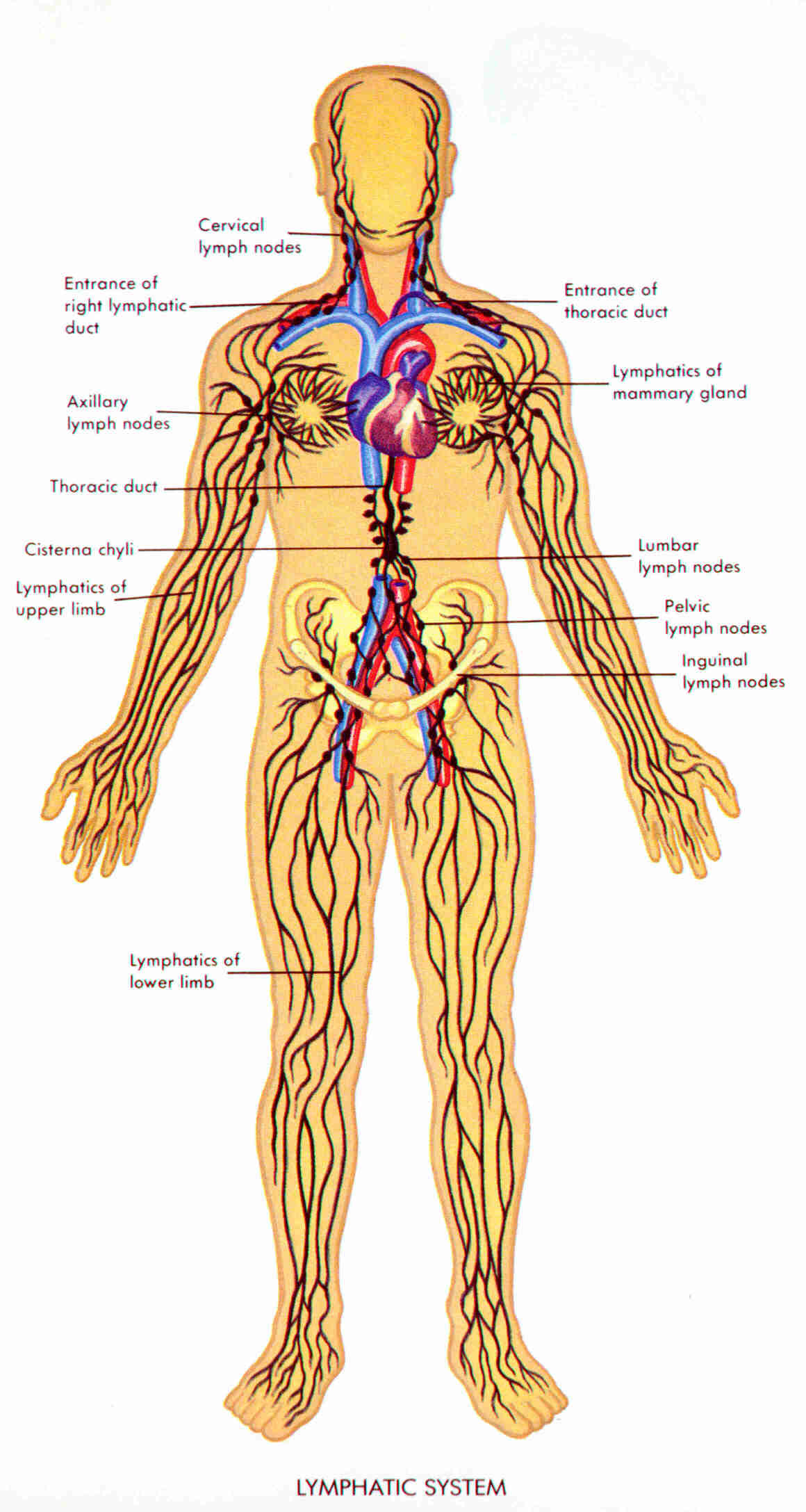 Lymphatic System Causes Symptoms Treatment Lymphatic System