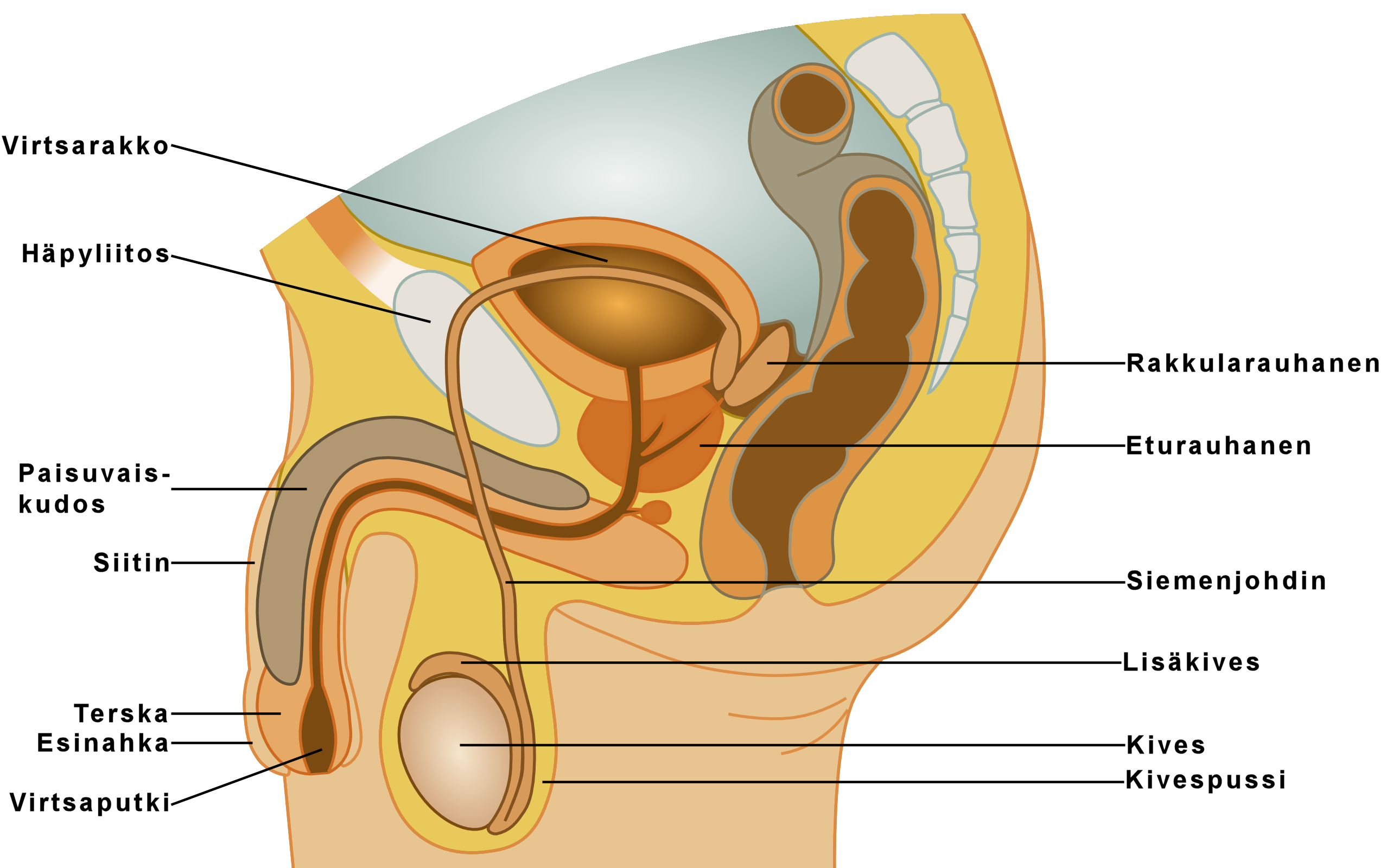 Male Reproductive System Causes Symptoms Treatment Male
