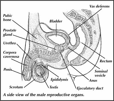 Male reproductive system causes symptoms treatment male male reproductive system ccuart Gallery