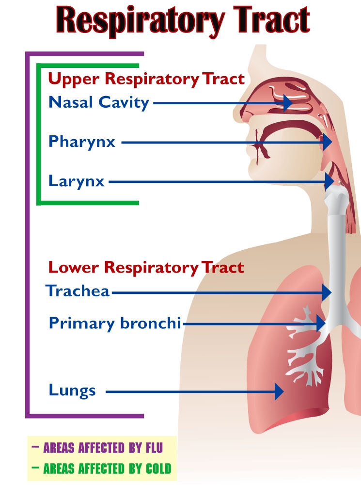 how to treat respiratory tract infections A main aim of treatment for an upper respiratory tract infection (urti) is to ease symptoms whilst your immune system clears the infection one or more of the following may be helpful: taking paracetamol or ibuprofen to reduce a high temperature (fever) and to ease any aches, pains and headaches.