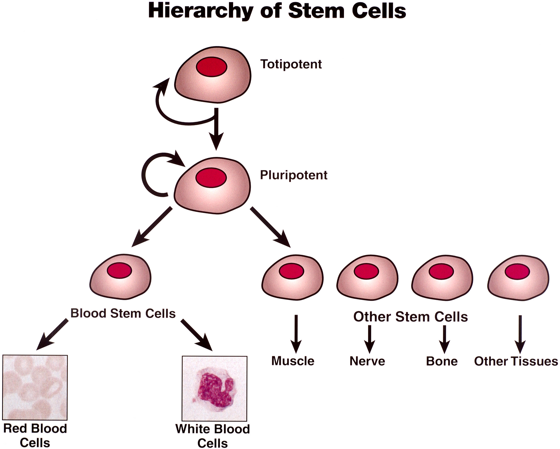 argumentative essay on stem cell research