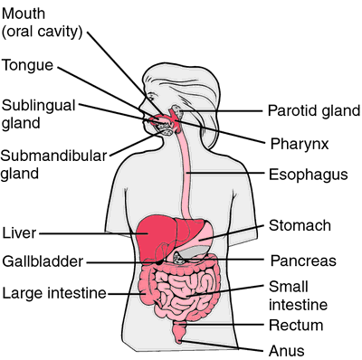 Organs Which Food Passes Through
