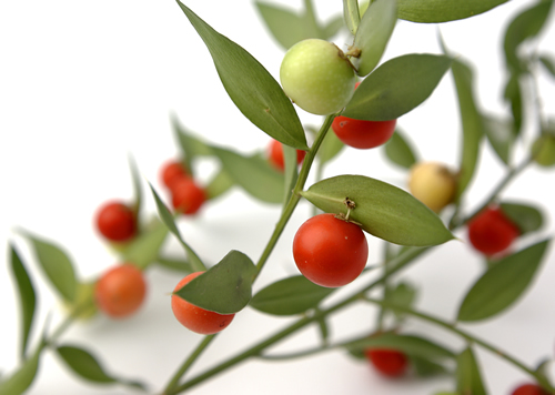 Herbs Amp Supplements Butchers Broom Benefits And Information