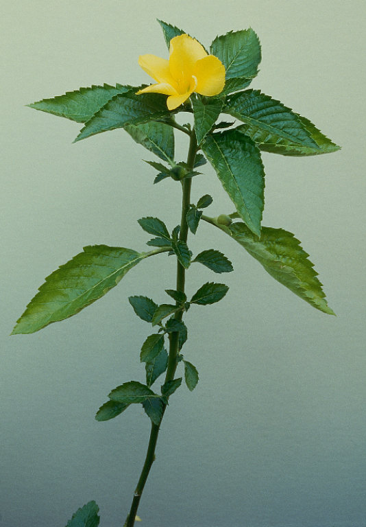 Herbs Amp Supplements Damiana Information And Facts