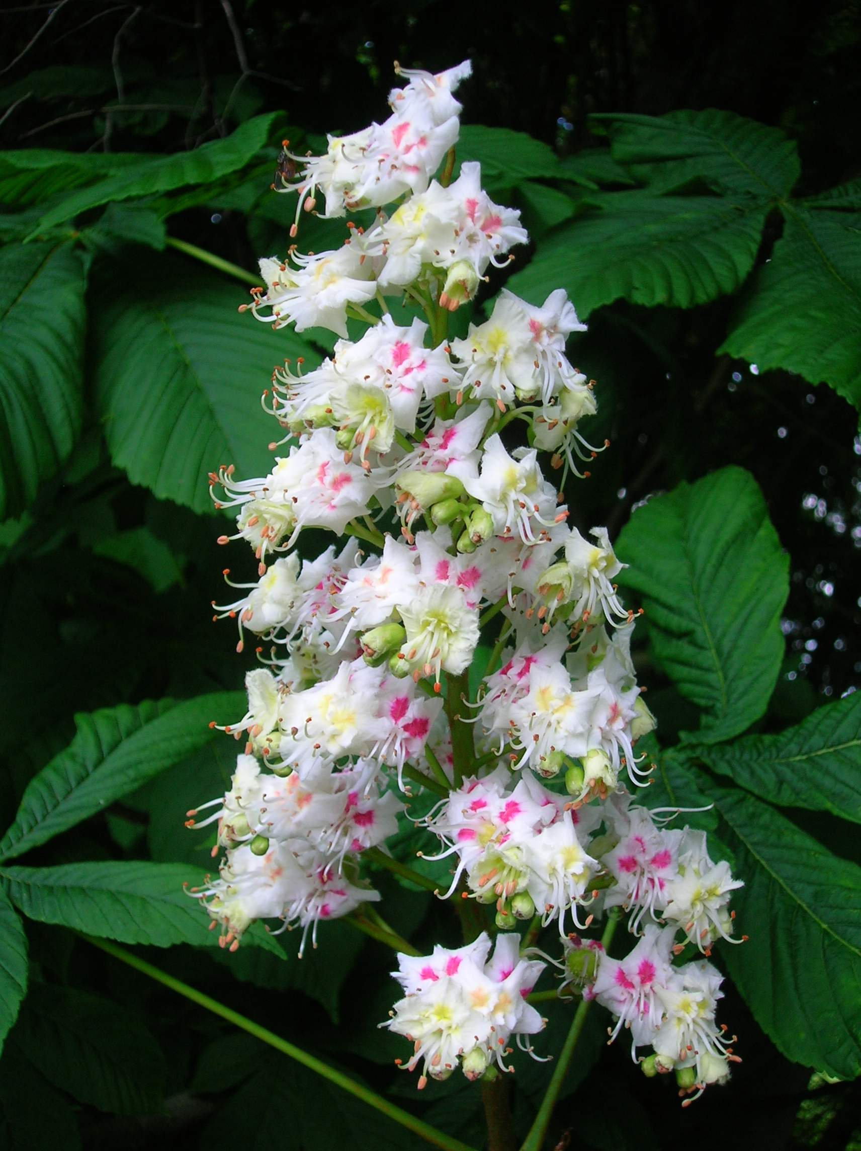 Herbs supplements horse chestnut seed extract benefits for The chestnut