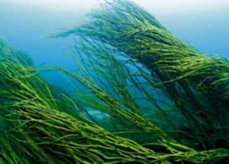 spirulina is one of hundreds of algae species and is commonly known as ...