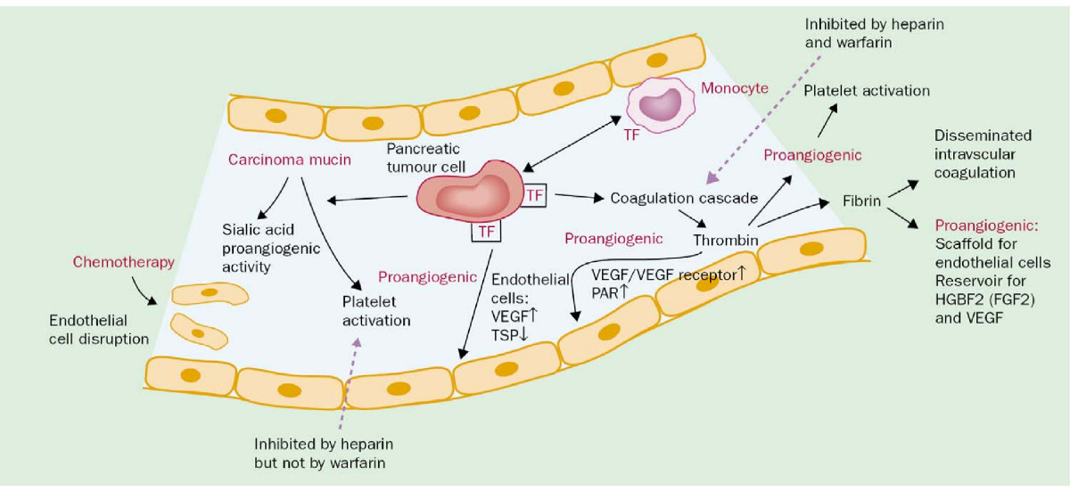 Fibroblast Growth Factor 2 Fibroblast Growth Factor