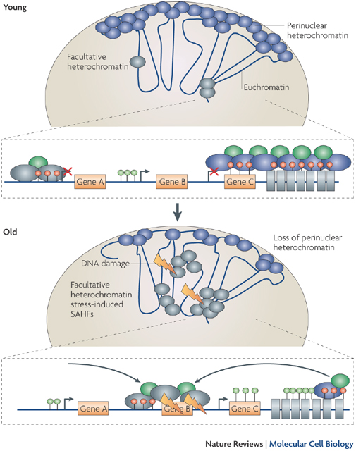 the assembly and maintenance of heterochromatin essay New insights into the regulation of heterochromatin rnai-mediated heterochromatin assembly by providing the source of and maintenance of heterochromatin.