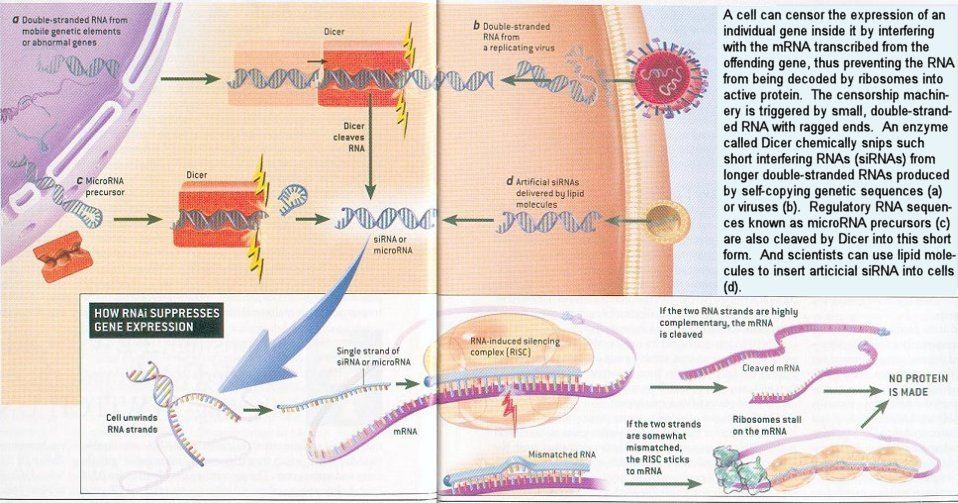 dr indrani boses seminar using rna interference Rna interference (rnai) is a process through which double-stranded rna induces the activation of cellular pathways, leading to potent and selective silencing of genes with homology to the double strand.