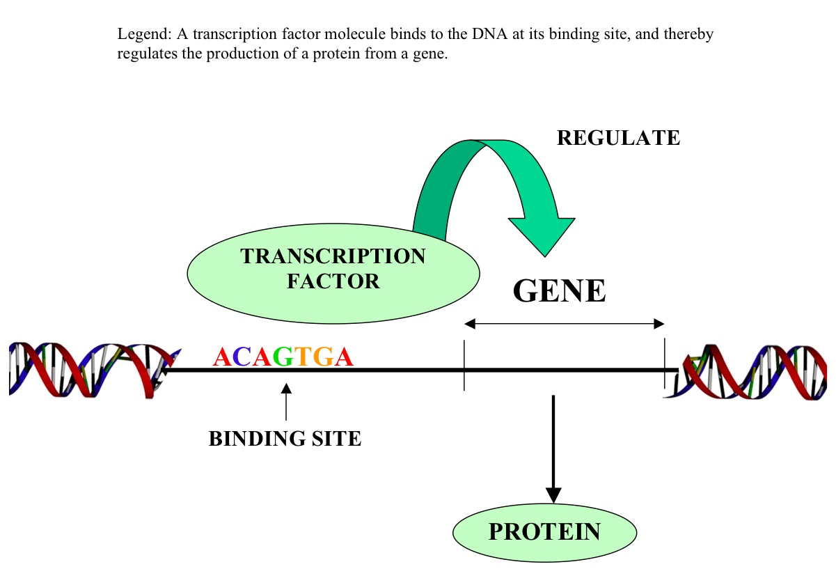 e2f8 transcription factors Since this is your first visit to the site, you are seeing this message it will not be displayed on subsequent visits.
